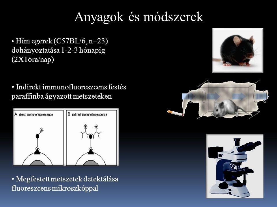 Anyagok és módszerek Hím egerek (C57BL/6, n=23) dohányoztatása 1-2-3 hónapig (2X1óra/nap) Indirekt immunofluoreszcens festés paraffinba ágyazott metszeteken Megfestett metszetek detektálása fluoreszcens mikroszkóppal
