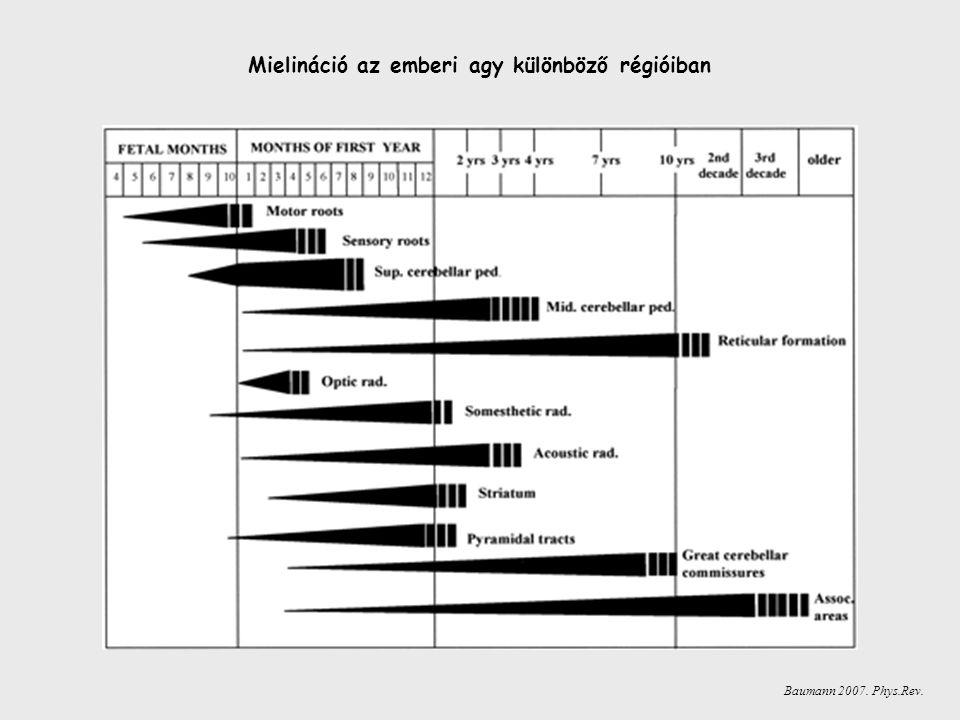 Mielináció az emberi agy különböző régióiban Baumann 2007. Phys.Rev.