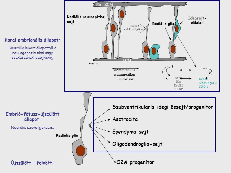 Notch Hes ErbB2 BLBP Delta-1 Mash/Ngn1,2 NRG-1 Idegsejt- előalak kamra Pia - ECM Radiális glia Radiális neuroepithel sejt ECM Laterális indukció / gátlás Szimmetrikus aszimmetrikus mitózisok Korai embrionális állapot: Neurális lemez állapottól a neurogenezis első nagy szakaszának lezajlásáig Embrió-fötusz-újszülött állapot: Neurális szövetgenezis; Radiális glia Szubventrikularis idegi őssejt/progenitor Asztrocita Ependyma sejt Oligodendroglia-sejt Újszülött – felnőtt: O2A progenitor
