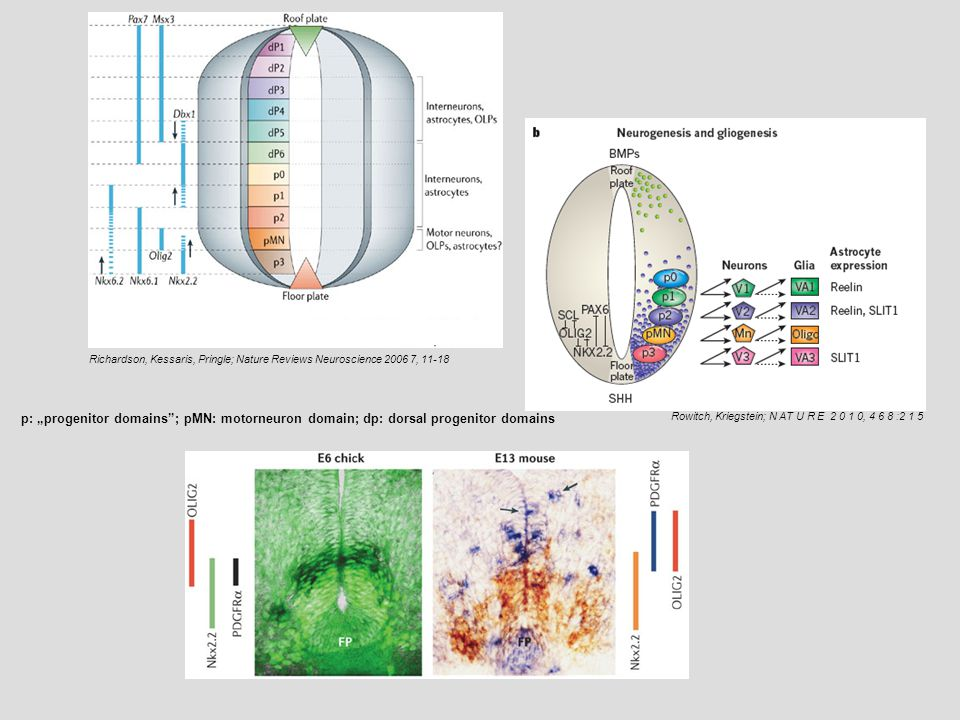 a | In the mouse spinal cord, 85% of oligodendrocyte precursors are generated from pMN in the ventral ventricular zones (1), starting at about embryonic day (E)12.5.