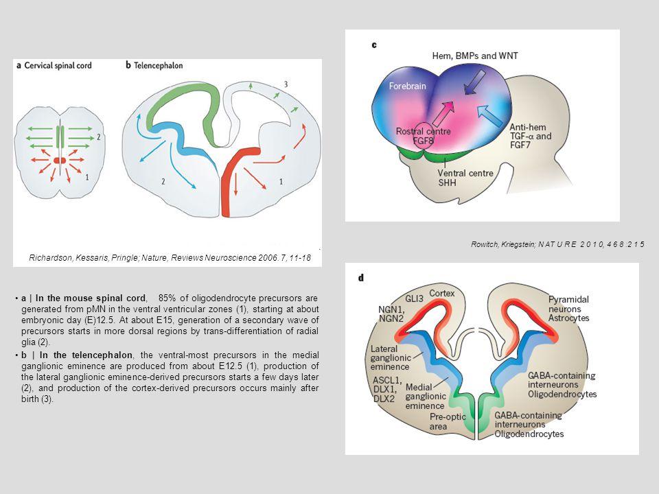 1.generáció : OPC 1; Nkx2.1; ventro-medialis FB; E12,5-től (egér) 2.generáció : OPC 2; Gsx2; MGE, LGE ; E 15 –től (egér) 3.generáció : OPC 3; Emx1 ; kéreg ; születéstől (egér) Oligodendroglia-genezis az emlős előagyban E 12,5) E 15,5) P 0
