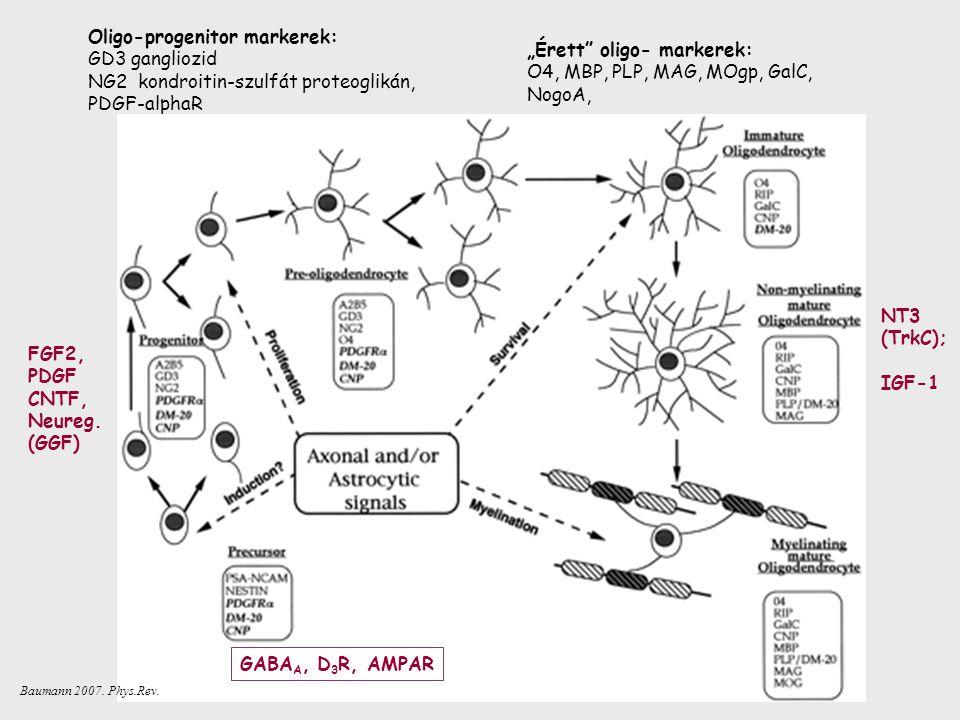 """Oligo-progenitor markerek: GD3 gangliozid NG2 kondroitin-szulfát proteoglikán, PDGF-alphaR """"Érett oligo- markerek: O4, MBP, PLP, MAG, MOgp, GalC, NogoA, FGF2, PDGF CNTF, Neureg."""