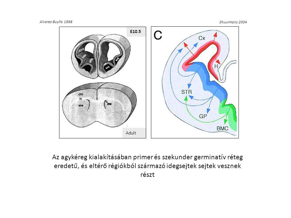 Alvarez-Buylla 1998 E10.5 E10,5 E1 0, 5 E1 0,5 E10, 5 Adult Shuurmans 2004 Az agykéreg kialakításában primer és szekunder germinatív réteg eredetű, és eltérő régiókból származó idegsejtek sejtek vesznek részt