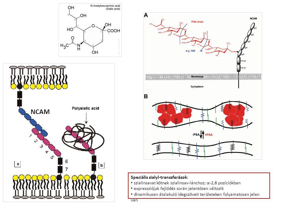 Speciális sialyl-transzferázok: szialinsavat kötnek szialinsav-lánchoz;  -2,8 pozíciókban expressziójuk fejlődés során jelentősen változik dinamikusan átalakuló idegszöveti területeken folyamatosan jelen van NCAM