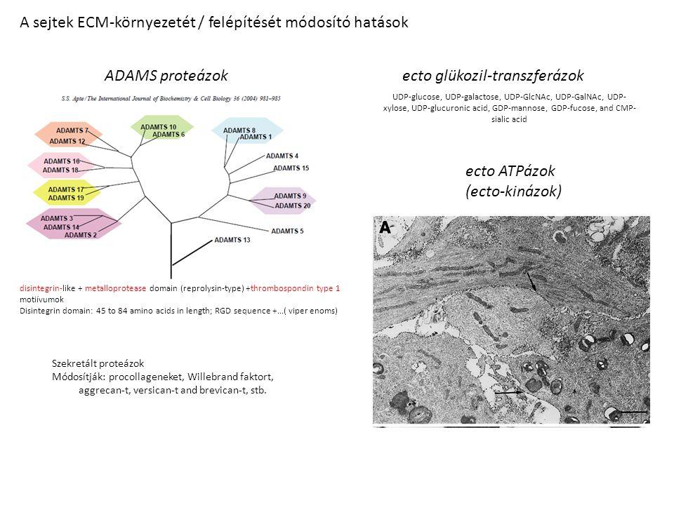 A sejtek ECM-környezetét / felépítését módosító hatások Szekretált proteázok Módosítják: procollageneket, Willebrand faktort, aggrecan-t, versican-t and brevican-t, stb.