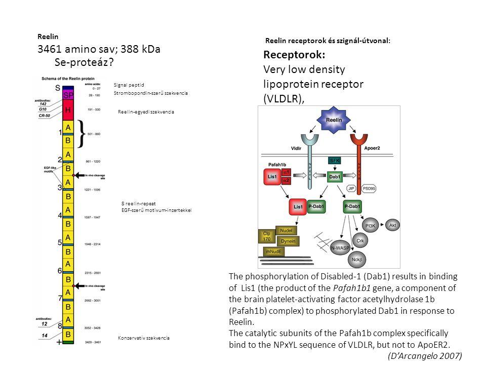 Receptorok: Very low density lipoprotein receptor (VLDLR), apolipoprotein E receptor 2 (APOER2) alpha-3-beta-1 integrin Reelin 3461 amino sav; 388 kDa Signal peptid Strombopondin-szerű szekvencia Reelin-egyedi szekvencia 8 reelin-repeat EGF-szerű motivum-inzertekkel Konzervatív szekvencia Reelin receptorok és szignál-útvonal: Se-proteáz.
