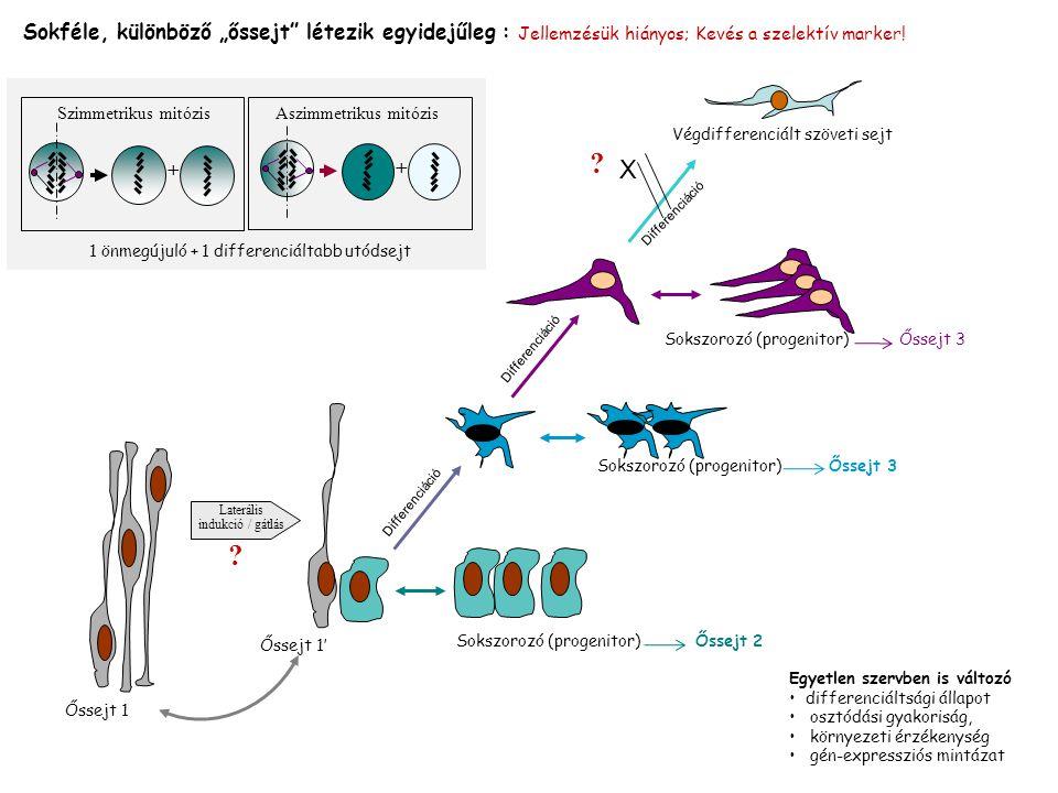 """Szimmetrikus mitózis + Aszimmetrikus mitózis + Egyetlen szervben is változó differenciáltsági állapot osztódási gyakoriság, környezeti érzékenység gén-expressziós mintázat Sokféle, különböző """"őssejt létezik egyidejűleg : Jellemzésük hiányos; Kevés a szelektív marker."""