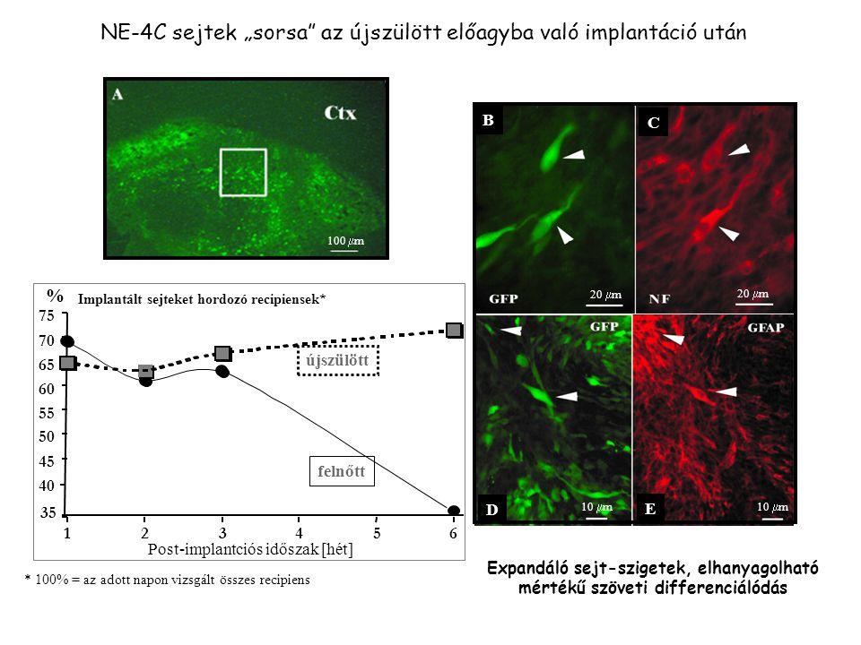 """NE-4C sejtek """"sorsa az újszülött előagyba való implantáció után * 100% = az adott napon vizsgált összes recipiens Post-implantciós időszak [hét] 123456 Implantált sejteket hordozó recipiensek* % újszülött felnőtt 40 45 50 55 60 65 70 75 35 Expandáló sejt-szigetek, elhanyagolható mértékű szöveti differenciálódás C B 20  m E D 10  m 100  m"""