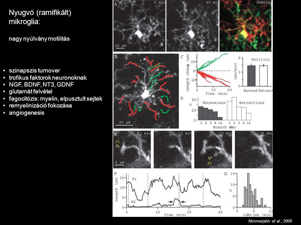 Nyugvó (ramifikált) mikroglia: nagy nyúlvány motilitás Nimmerjahn et al., 2005 szinapszis turnover trofikus faktorok neuronoknak NGF, BDNF, NT3, GDNF glutamát felvétel fagocitózis: myelin, elpusztult sejtek remyelinizáció fokozása angiogenesis