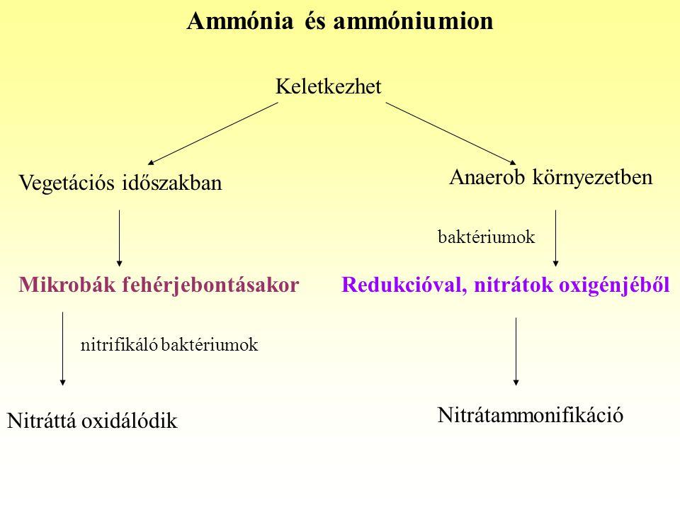 Ammónia és ammóniumion Keletkezhet Mikrobák fehérjebontásakor Anaerob környezetben Vegetációs időszakban Redukcióval, nitrátok oxigénjéből nitrifikáló baktériumok Nitráttá oxidálódik Nitrátammonifikáció baktériumok
