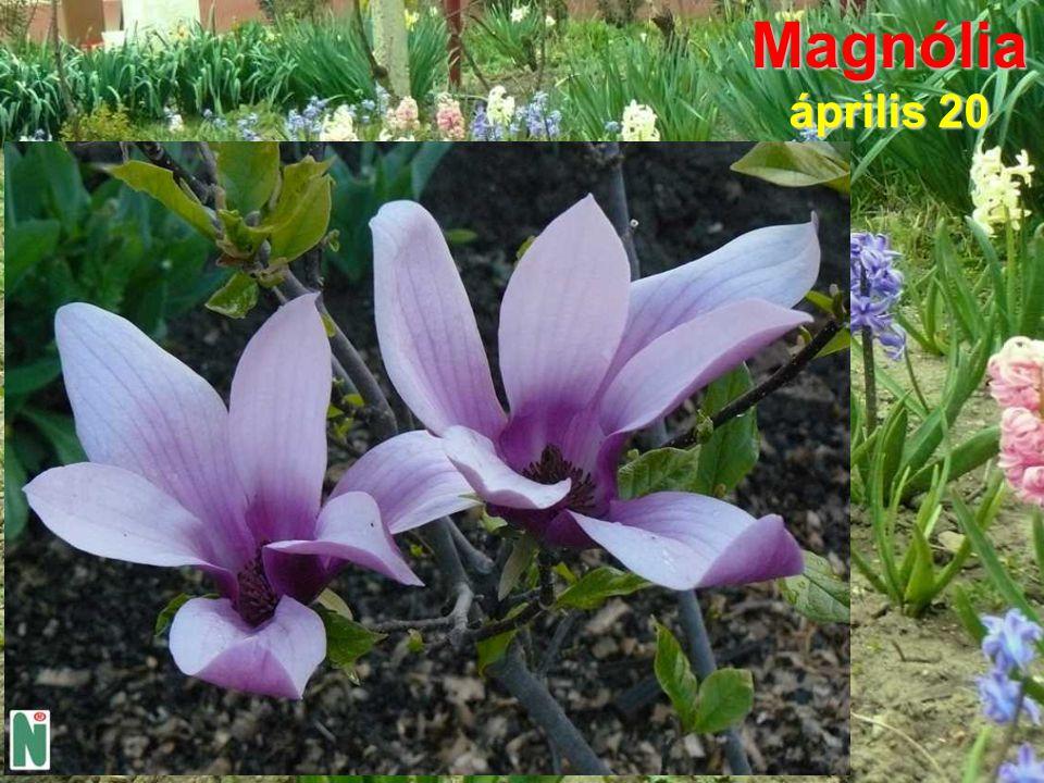 Magnólia április 20