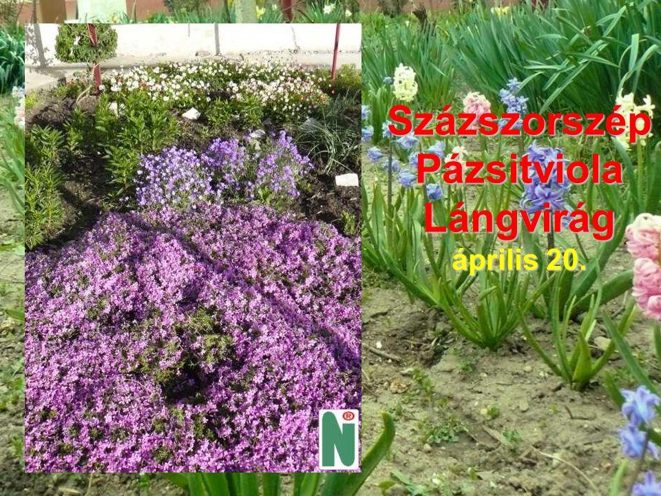 SzázszorszépPázsitviolaLángvirág április 20.