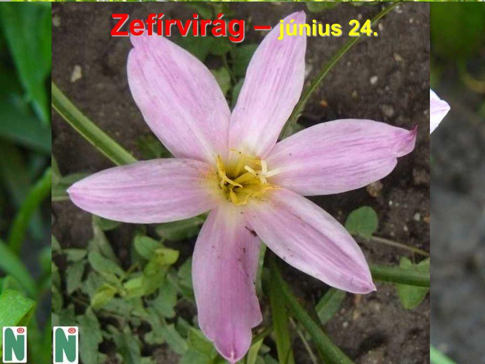 Zefírvirág – június 24.