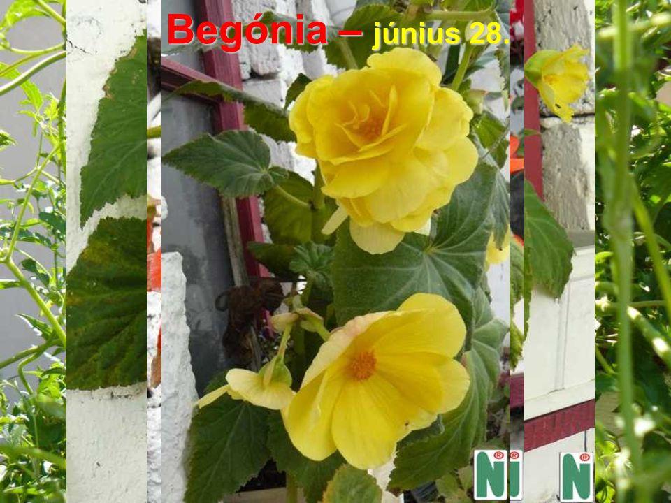 Begónia – június 28.