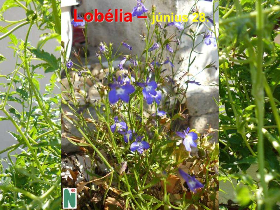 Lobélia – június 28.