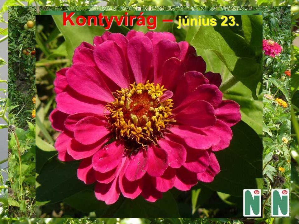 Viaszvirág – június 24.