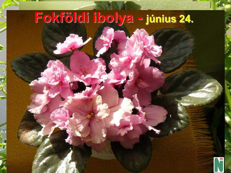 Fokföldi ibolya - június 24.