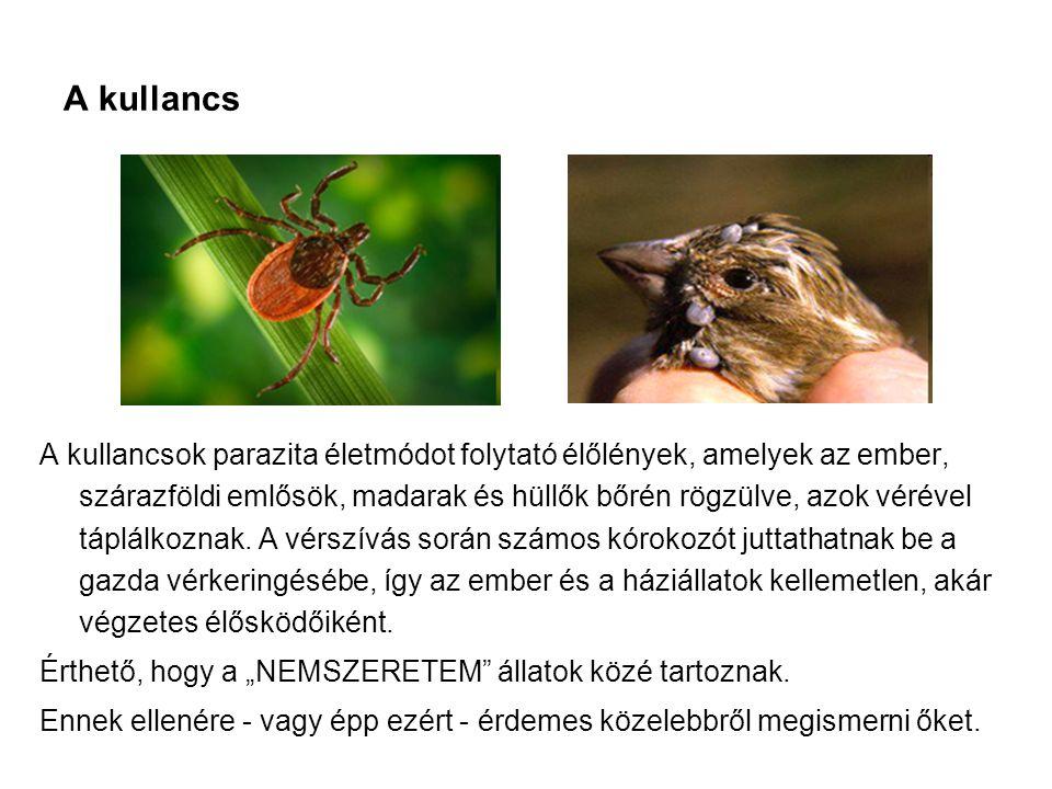 A kullancs A kullancsok parazita életmódot folytató élőlények, amelyek az ember, szárazföldi emlősök, madarak és hüllők bőrén rögzülve, azok vérével t