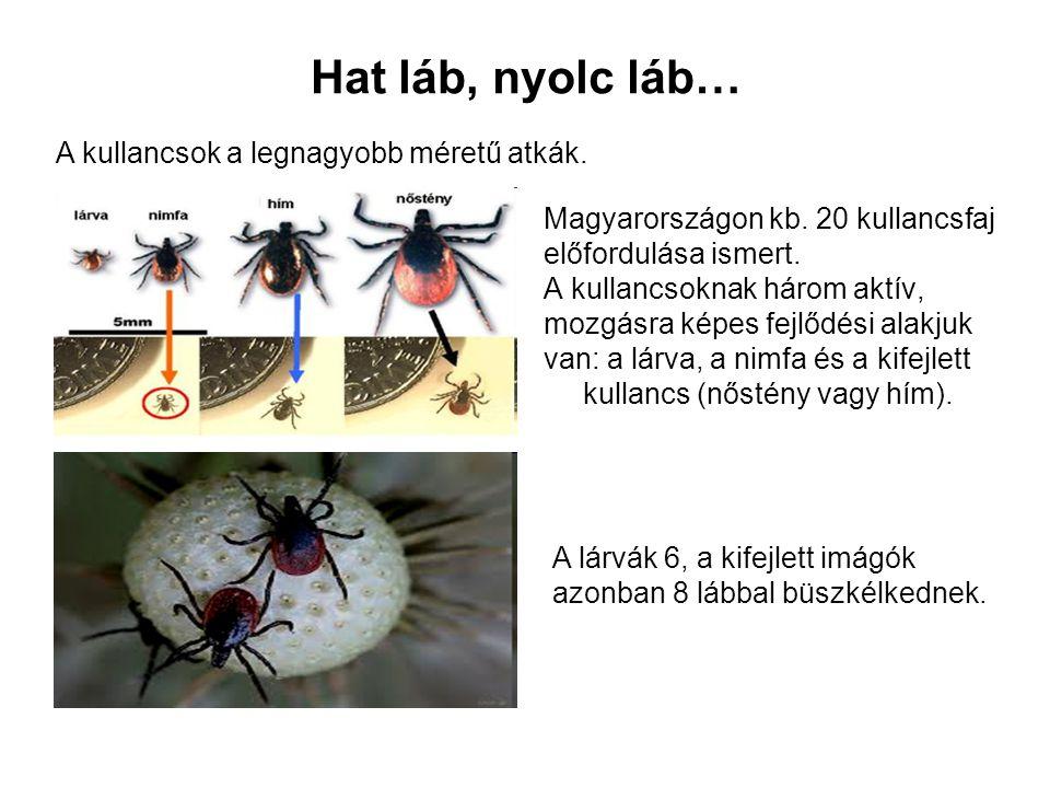 Hat láb, nyolc láb… Magyarországon kb. 20 kullancsfaj előfordulása ismert. A kullancsoknak három aktív, mozgásra képes fejlődési alakjuk van: a lárva,