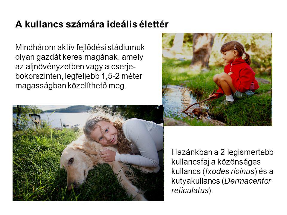 Statisztikai adatok A két leggyakoribb kullancsfaj szezonális előfordulása egy kutyák kullancsait célzó országos felmérés alapján (Földvári és munkatársai, Parasitology Research, 2007).