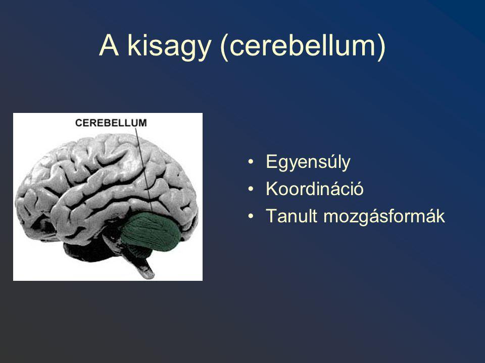 A kisagy (cerebellum) Egyensúly Koordináció Tanult mozgásformák