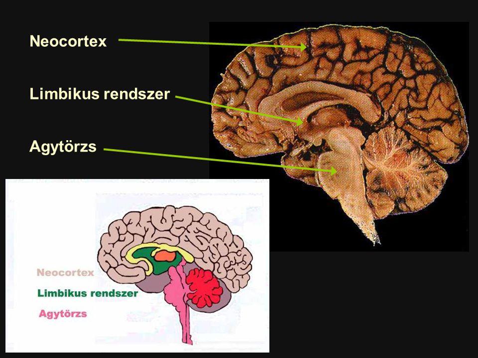 """Az agy evolúciója Agytörzs Limbikus rendszer Neo-cortex Életben maradás """"Élni akarás – ösztön, stb."""