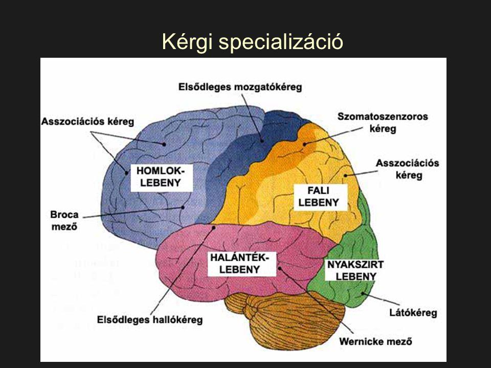 Homloklebeny (frontális lebeny) Elsődleges mozgatókéreg Beszédképzés Figyelem, koncentráció, munkamemória, végrehajtó funkciók, tervezés, problémamegoldás, szervezés, előrejelzés, rugalmasság Érzelmek, motiváció, agresszió kontroll, ítéletalkotás, önmonitorozás, személyiség