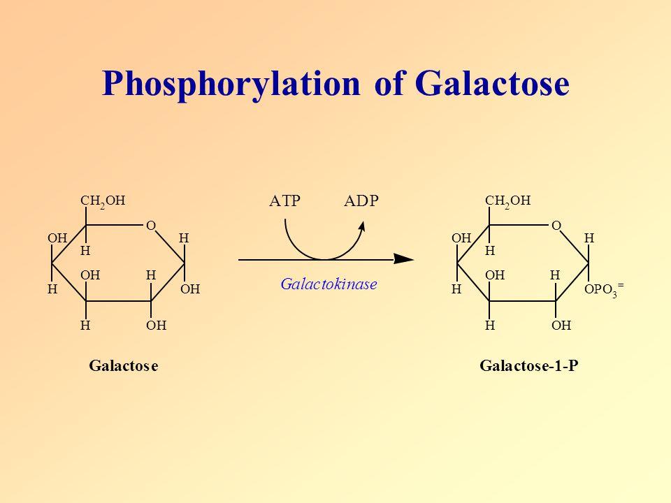 Phosphorylation of Galactose O CH 2 OH H OH H OH H H OH H OH ATPADP O CH 2 OH H OH H OH H H OH H OPO 3 = Galactokinase GalactoseGalactose-1-P