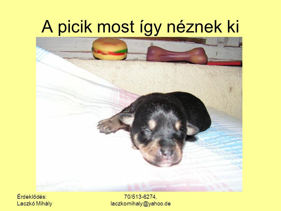 Érdeklődés: Laczkó Mihály 70/513-6274, laczkomihaly@yahoo.de Van, aki kiköpött anyja, de van az apára hasonlító foltoska is