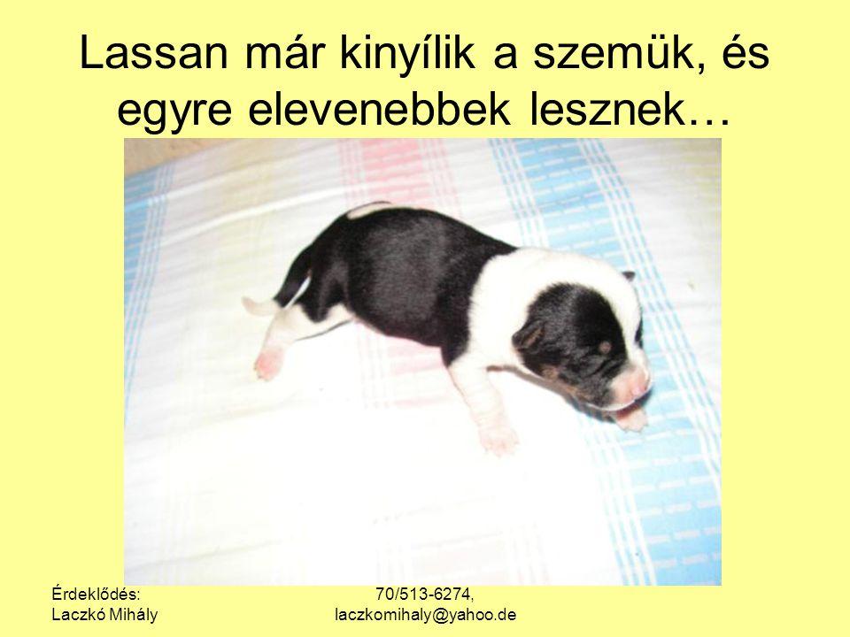 Érdeklődés: Laczkó Mihály 70/513-6274, laczkomihaly@yahoo.de Lassan már kinyílik a szemük, és egyre elevenebbek lesznek…