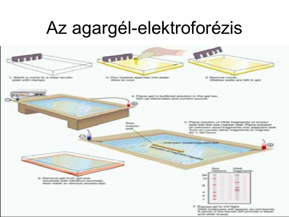 Az agargél-elektroforézis