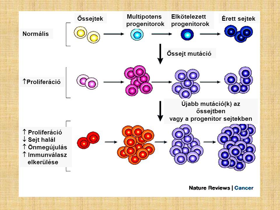 Normális Őssejtek Multipotens progenitorok Elkötelezett progenitorok Érett sejtek Őssejt mutáció  Proliferáció Újabb mutáció(k) az őssejtben vagy a p