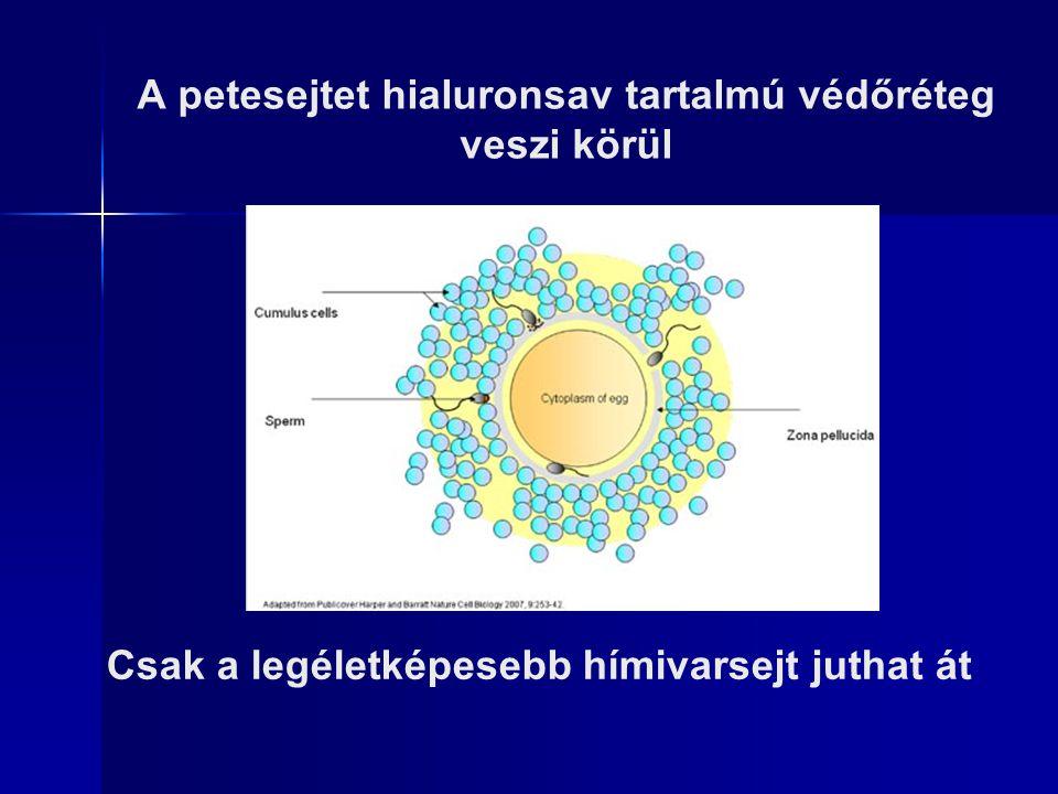 A petesejtet hialuronsav tartalmú védőréteg veszi körül Csak a legéletképesebb hímivarsejt juthat át