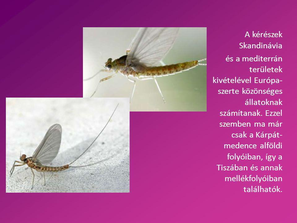 A tiszavirág tulajdonságai A legnagyobb európai kérészfaj 2,5-3,8 cm hosszú A lárvák fejlődése nagyon lassú 3 év telik el, amíg ki nem repül a vízből A nőstények nagyobbak, mint a hímek A kérészek csak egy napig élnek