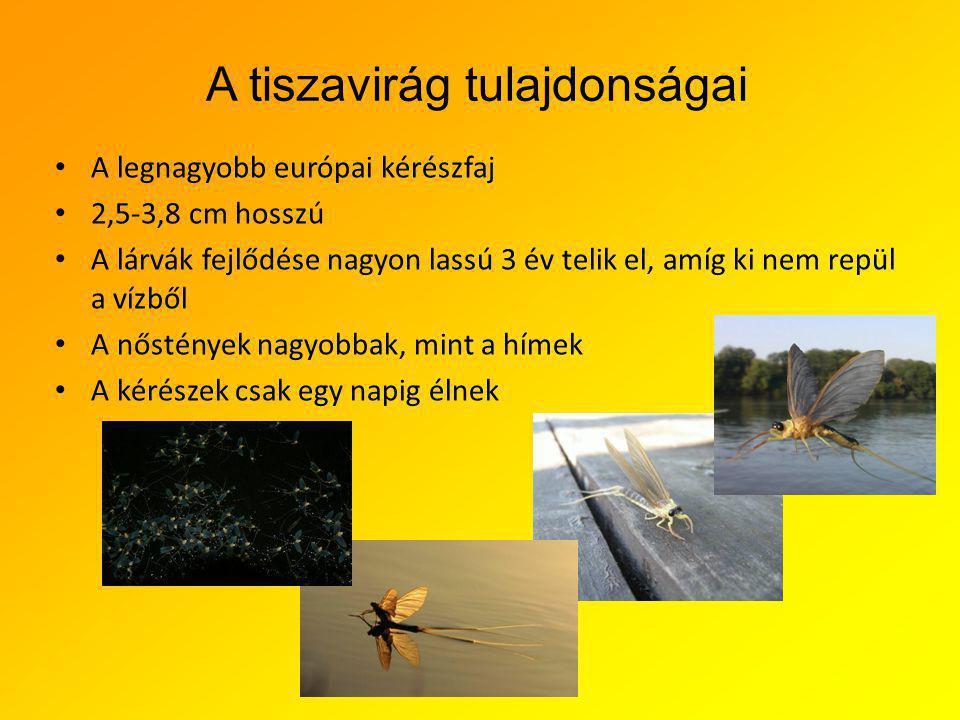 A tiszavirág tulajdonságai A legnagyobb európai kérészfaj 2,5-3,8 cm hosszú A lárvák fejlődése nagyon lassú 3 év telik el, amíg ki nem repül a vízből