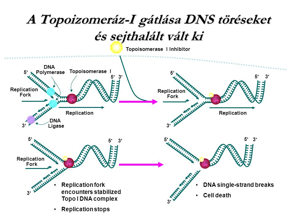 Topoisomerase I Replication DNA Ligase DNA Polymerase TOPO I Replication Fork 3'3' 5'5' 5'5' 3'3' Topoisomerase I Inhibitor Replication Fork 3'3' 5'5'