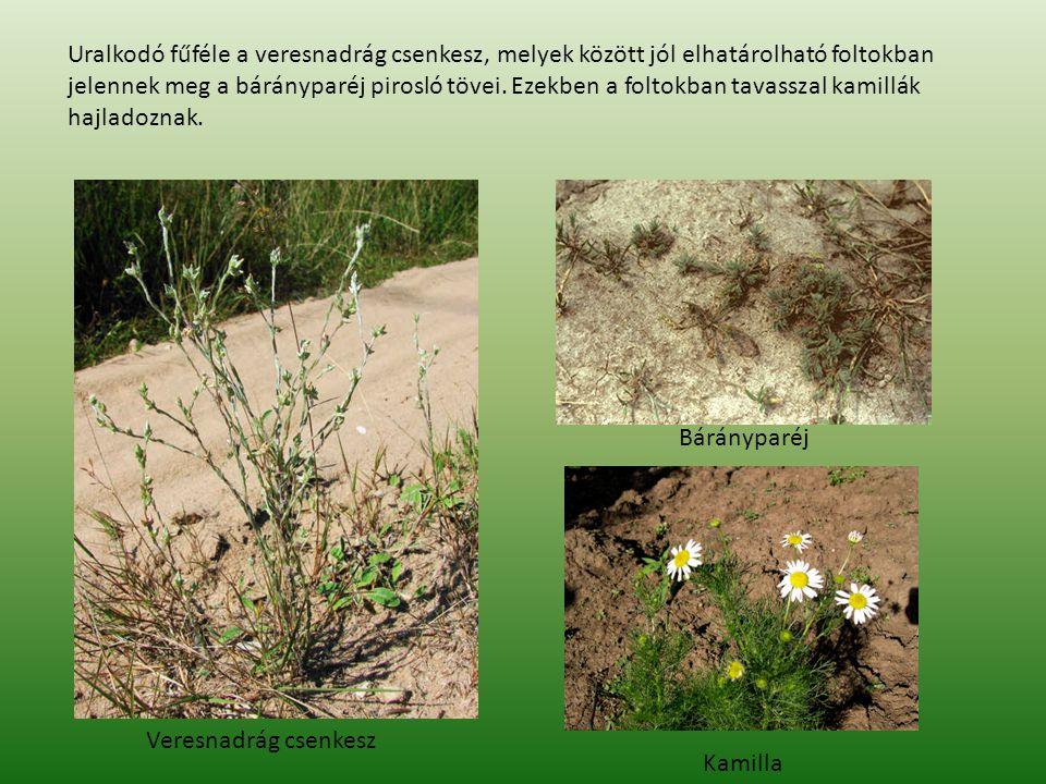 Bárányparéj Kamilla Veresnadrág csenkesz Uralkodó fűféle a veresnadrág csenkesz, melyek között jól elhatárolható foltokban jelennek meg a bárányparéj pirosló tövei.