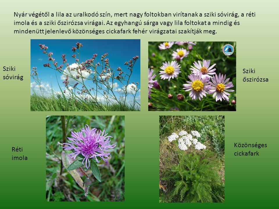 Nyár végétől a lila az uralkodó szín, mert nagy foltokban virítanak a sziki sóvirág, a réti imola és a sziki őszirózsa virágai.