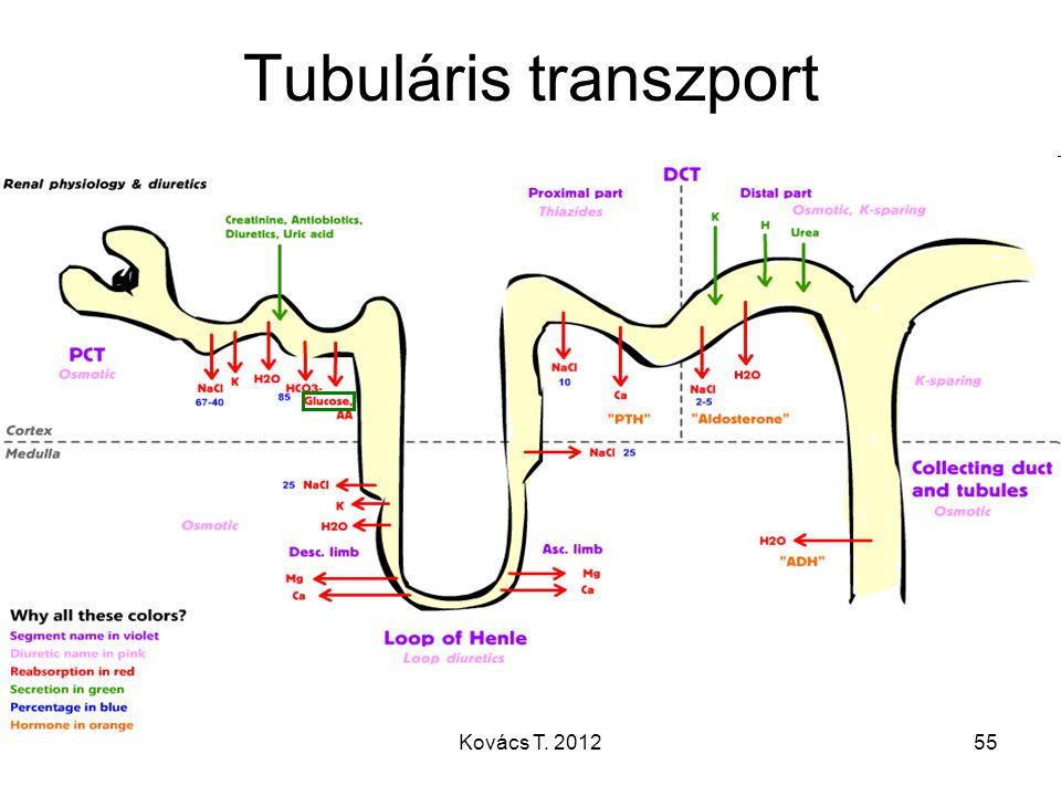 Tubuláris transzport 55Kovács T. 2012