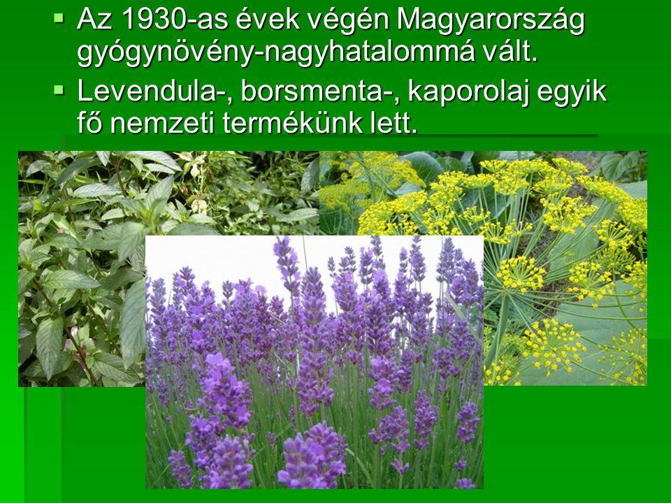 AAAAz 1930-as évek végén Magyarország gyógynövény-nagyhatalommá vált. LLLLevendula-, borsmenta-, kaporolaj egyik fő nemzeti termékünk lett.