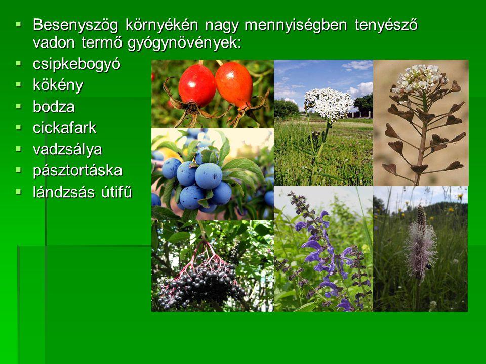 BBBBesenyszög környékén nagy mennyiségben tenyésző vadon termő gyógynövények: ccccsipkebogyó kkkkökény bbbbodza ccccickafark vv