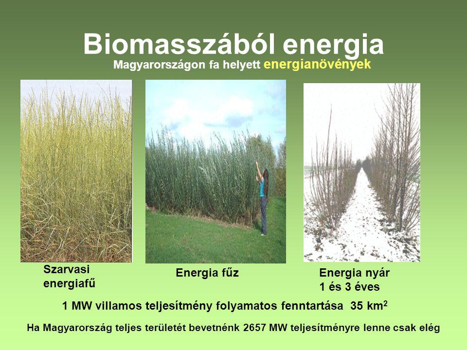 Biomasszából energia Magyarországon fa helyett energianövények Szarvasi energiafű Energia fűzEnergia nyár 1 és 3 éves 1 MW villamos teljesítmény folya