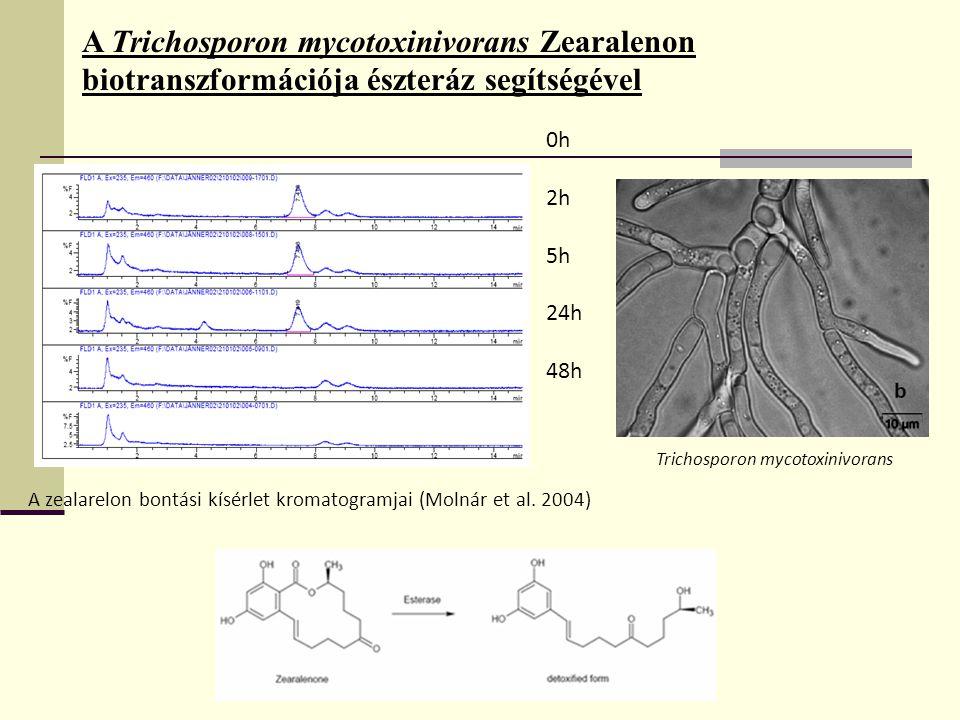 A Trichosporon mycotoxinivorans Zearalenon biotranszformációja észteráz segítségével 0h 2h 5h 24h 48h Trichosporon mycotoxinivorans A zealarelon bontási kísérlet kromatogramjai (Molnár et al.