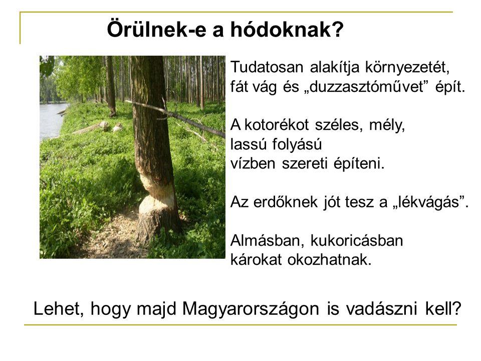 Örülnek-e a hódoknak. Lehet, hogy majd Magyarországon is vadászni kell.