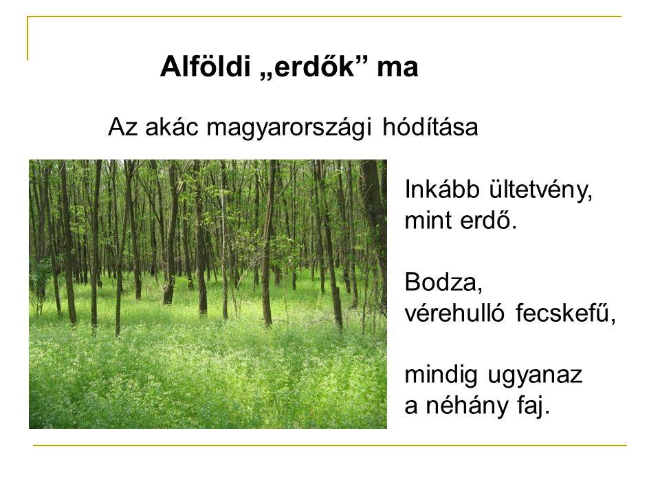 """Alföldi """"erdők"""" ma Az akác magyarországi hódítása Inkább ültetvény, mint erdő. Bodza, vérehulló fecskefű, mindig ugyanaz a néhány faj."""