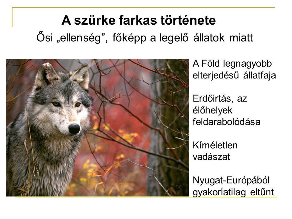 """A szürke farkas története Ősi """"ellenség , főképp a legelő állatok miatt A Föld legnagyobb elterjedésű állatfaja Erdőirtás, az élőhelyek feldarabolódása Kíméletlen vadászat Nyugat-Európából gyakorlatilag eltűnt"""