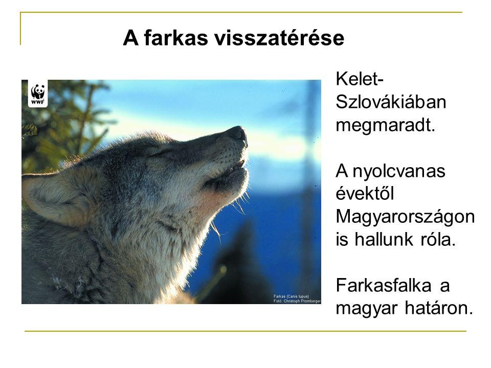 A farkas visszatérése Kelet- Szlovákiában megmaradt. A nyolcvanas évektől Magyarországon is hallunk róla. Farkasfalka a magyar határon.
