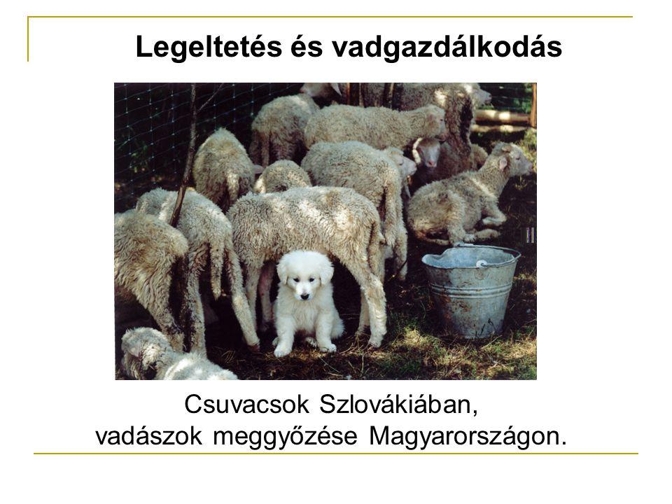 Legeltetés és vadgazdálkodás Csuvacsok Szlovákiában, vadászok meggyőzése Magyarországon.