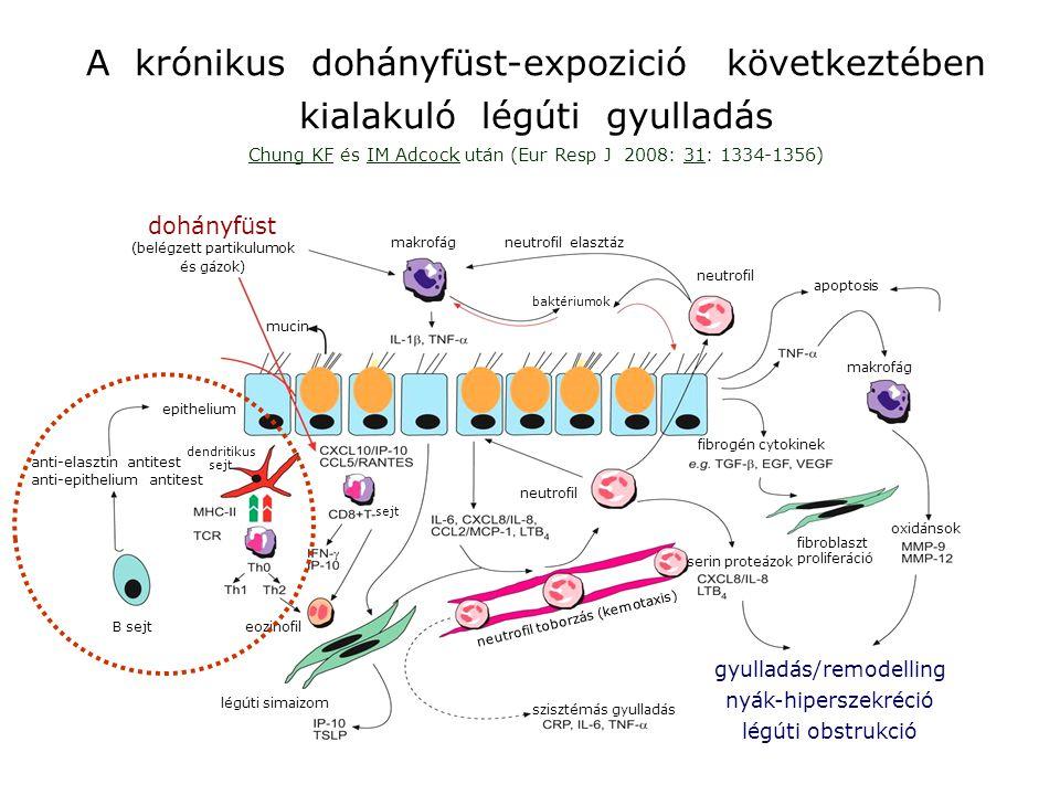 a COPD kórfejlődése 1.lépcső: a dohányfüst elsődleges, a légúti nyálkahártyát kárositó hatása Cosio MG, Saetta M, Agusti A: N Engl J Med 2009: 360: 2445-54.