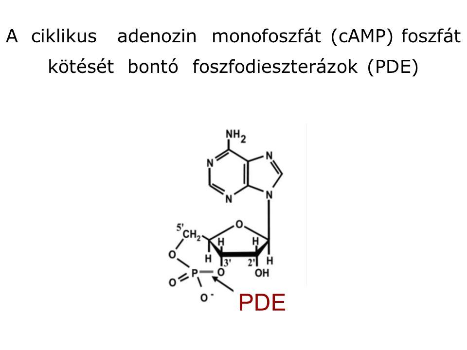 A ciklikus adenozin monofoszfát (cAMP) foszfát kötését bontó foszfodieszterázok (PDE) PDE